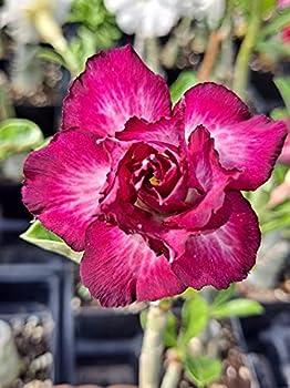 Grafted Desert Rose Plant Adenium Obesum  Exotic Purple  Rosa Del Desierto