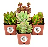 Succulent Plants 5-Pack, Fully Rooted in Planter Pots with Soil - Real Live Potted Succule...