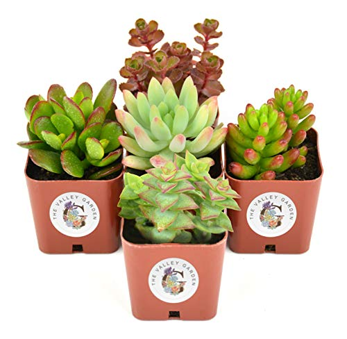 Succulent Plants 5-Pack, Fully Rooted in Planter Pots with Soil - Real Live Potted Succulents,Hand Selected Randomly Variety Pack of Mini Succulents