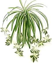 LYNKO - Planta Artificial de araña para decoración de Bodas, 2 Unidades