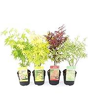PLANT IN A BOX - Japanse esdoorn mix - Acer Palmatum - Mix van 4 stuks - pot ⌀10 cm - Hoogte 25-40 cm