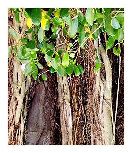 Shop Meeko Banyan - Bonsai - Ficus - 100 seedsplant