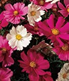 Cosmos Seeds - Treasuresbylee - Sensation Mix Cosmos Seeds - 30 Heirloom Flower Seeds Mix