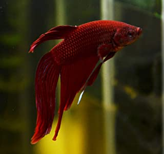 giant female betta for sale