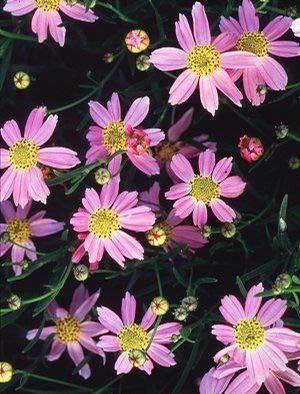 Coreopsis rosea Seeds - ROSE threadleaf Coréopsis, AMERICAN DREAM (30)