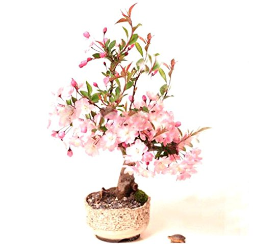 20 pcs graines de sakura bonsaïs ornement bonsaï cerise fleurs des plantes en pot facile à cultiver pour le bricolage jardin maison plantation Noir