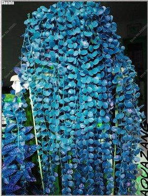 100 pcs/sac exotiques Graines rares Couleur extérieure hybride Escalade Blooming Bonsai Potted Plant for Lvy Décor de jardin 4