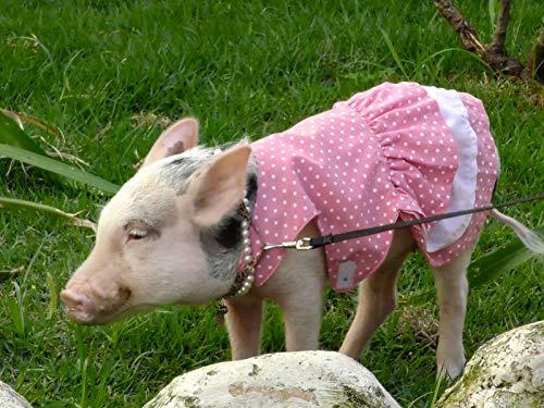 Mini Pig Perola