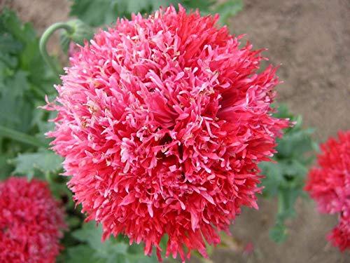 50 Pcs chaud haute neige rouge Graines de fleurs, et la cour Perennial Little Garden Bubble décoratif Sac * Le meilleur Bonsai Accueil Regarder 14