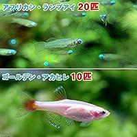 (熱帯魚)アフリカン・ランプアイ Sサイズ(20匹) + ゴールデンアカヒレ(10匹) 北海道航空便要保温