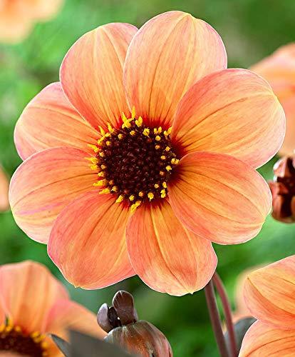 Yukio Samenhaus - 10pcs Rarität Dahlie 'Happy Days® Lemon' Beetdahlie Sommerblume Blumensamen Mischung mehrjährig winterhart exotisch
