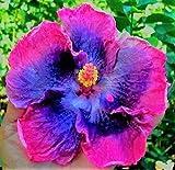SAGEAWAY Las Semillas de Color púrpura Rosado de la Flor del Hibisco