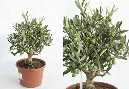 Olea europea Olive im Topf gewachsen T15 25-30 cm Olivenbaum Bonsai-Rohware 1 Stück