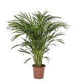 Botanicly - Plantes vertes d intérieur – Palmier multipliant (Areca dypsis lutescens) – 90 cm grande plante – Purificateur d'air naturel