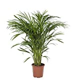 Albero da interno da Botanicly – Areca dypsis lutescens – Altezza: 90 cm – Areca dypsis lutescens