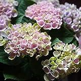 遅れてごめんね母の日 父の日 紫陽花 あじさい 鉢植え アジサイ マジカルレボリューション ハイドランジア