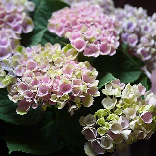 誕生日 母の日 父の日 紫陽花 あじさい 鉢植え アジサイ マジカルレボリューション ハイドランジア