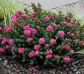1 Pocomoke Dwarf Pink Crape Myrtle Live Plant 3 Gallon Pot