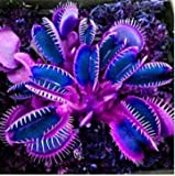 Humany flowerseeds- 50 Pieces Flytrap Plants Seed Rare Venus Flytrap Seed Dionaea muscipula Carnivorous Plant Hardy Perennial for Garden Balcony
