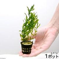 (水草)(ポット売り)ボルビティス ヒュディロティ(無農薬)(1ポット) 北海道航空便要保温