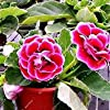 Vistaric ZLKING 100pcs Cinese Molto Bello Rosso Gloxinia Semi di Bonsai Natura Fresca Tutte Le Stagioni Disponibili Decorazione Semi in Vaso pianta #3