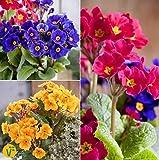 Yukio Samenhaus - 30pcs Raritäten Wald-Primel Set blau-violett/Gold/rosa Blumensamen Mischung winterhart mehrjährig für die Frühjahrs- und Osterdeko im Beet/auf dem Balkon