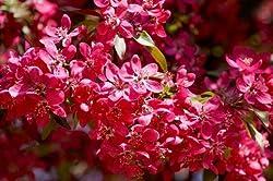 """Zierapfel bronce Laubfarbe /""""Liset/"""" Malus x hybr violettrote Blüten+Früchte"""