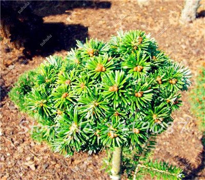 Colorado mixtes Graines de sapin Coloful Spruce Graines Picea arbre en pot Bonsai Cour Jardin Bonsai usine Pine Tree Seeds 100 Pcs 20