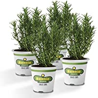 4-Plant Bonnie Rosemary Live Edible Aromatic Herb Plant