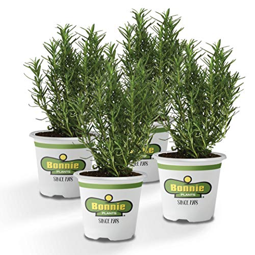 Bonnie Plants 4P5090 Rosemary Live Edible Aromatic Herb Plant for for Cooking & Grilling, 4 Pack, 4 Pack