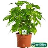 Zoom IMG-1 coffea arabica 1 pianta albero