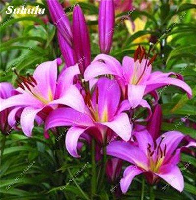 50 Pcs parfum Lily Graines, Graines de plantes d'intérieur, Germination Fleur 99% Creepers Bonsai Bricolage Fournitures Jardin Pots Planters 6