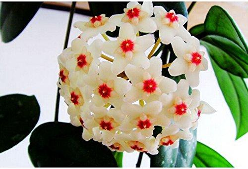 100pcs / sac Vente Hot arc Hoya Rare Graines Outdoor Blooming Bonsai plantes en pot de fleurs Maison et Jardin Livraison gratuite 15