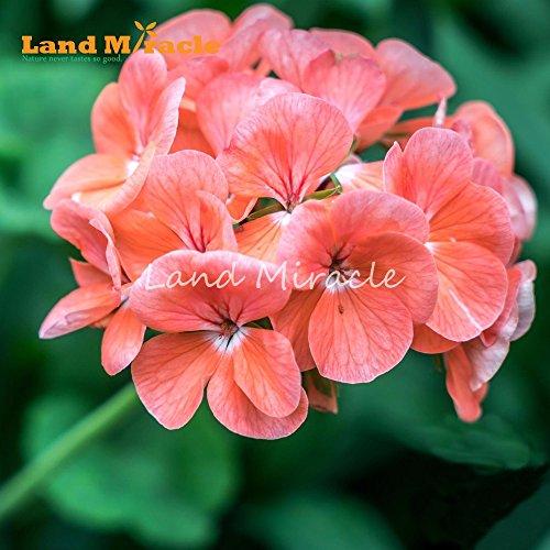 100% vrai Graines d'Orange, Géranium 5 graines, Bonsai Rose Pelargonium vivace Graines de fleurs pour le jardin plante