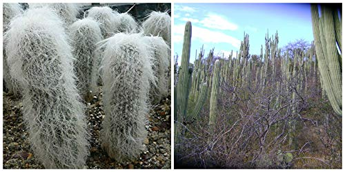 Seeds Combo 2 Species of Cephalocereus (25 Seeds of C. senilis,