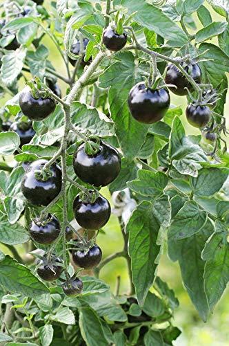 Seedeo® Tomate Indigo Rose (Lycopersicum L.) 25 Samen BIO