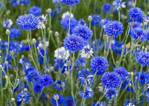 Charm4you Semillas de Flores Balcones,Aciano Park Green Garden Seed-Mixed Color_250g,Flores Paisaje para cercas