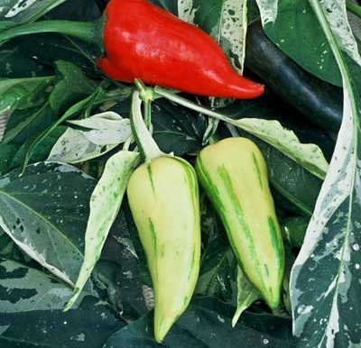 30 Seed of Fish Pepper - Hot Peppers