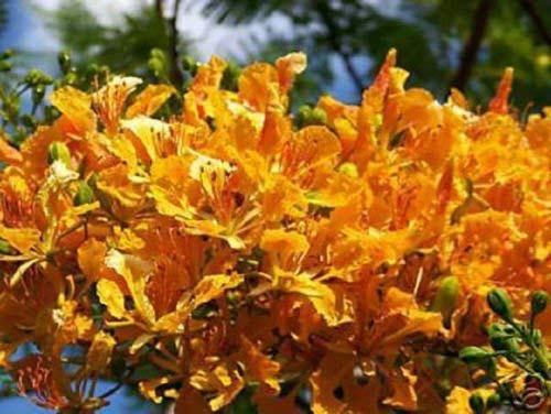 YELLOW FLAMBOYAN ROYAL POINCIANA DELONIX REGIA BONSAI TREE EXOTIC SEED 50 SEEDS