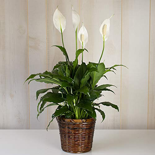 White Flower Farm Live Peace Lily Indoor Plant (Spathiphyllum) in a Woven Basket