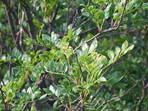 Szechuanpfeffer Zanthoxylum schinifolium Pflanze 35-40cm Japanischer Pfeffer