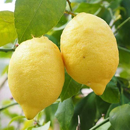 Limoni Di Sorrento IGP - Produzione Costiera Sorrentina - Limone IGP (6 Kg)