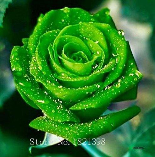 100PCS Fleur Rose Graine Hollande Amoureux des semences cadeau Orange Vert arc-en-RARE Couleur 24 Bricolage choisir le jardinage Fleur 7