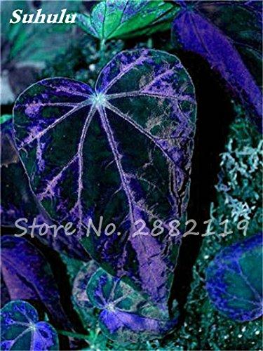 Hot! 100 Pcs Belle Begonia coleus Blumei graines, graines de fleurs colorées rares plantes en pot Begonia pour le jardin Balcon coleus 10