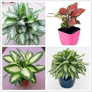 100Pcs Rare Aglaonema spp Seeds High Humidity Easy Grow Office Desk Bonsai Air Freshening Plants Radiation Protect Home Garden