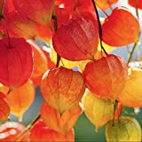 Chinese Lantern Seeds (Physalis Alkekengi) 30+ Organic Heirloom Seeds in FROZEN SEED CAPSULES for The Gardener & Rare Seeds Collector, Plant Seeds Now or Save Seeds for Many Years
