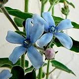 オキシペタラム:ブルースター3.5号ポット 4株セット[ すがすがしいブルーの五弁花]