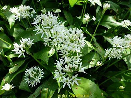 Blumenzwiebeln Alliumzwiebeln 100 Bärlauchzwiebeln Allium ursinum