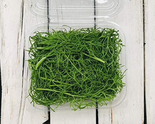 Aneto in vaschetta (20 g) - Carmazzi: erbe aromatiche e spezie