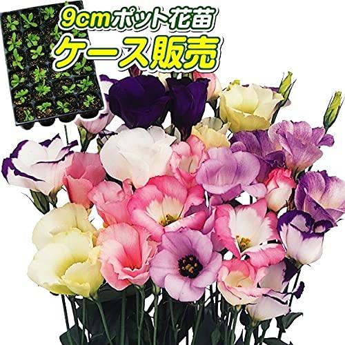 国華園 ケース花苗 トルコキキョウミックス(無選別) 24株(1ケース) /21年秋商品